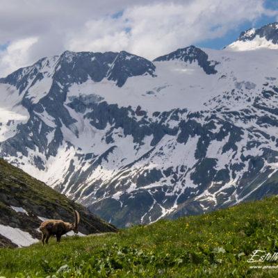 Bouquetin des Alpes