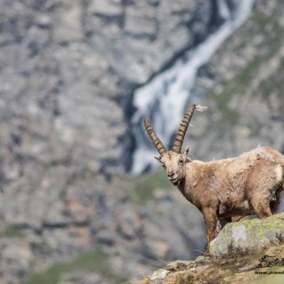 Bouquetin des Alpes et paysage montagne