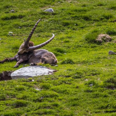 Bouquetin des Alpes_sieste