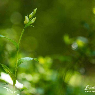 Céphalanthère à grandes fleurs (Cephalanthera damasomium)