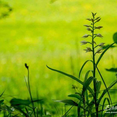 Céphalanthère à longue feuilles (Cephalanthera longifolia)