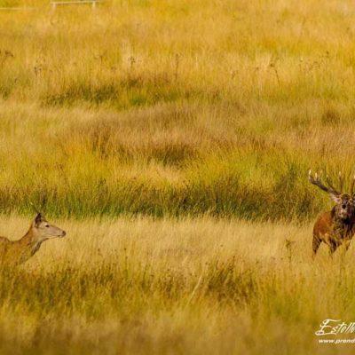 Cerf élaphe chasse un jeune mâle