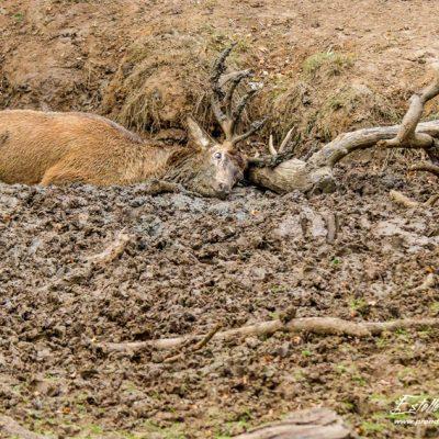 Cerf élaphe à la souille