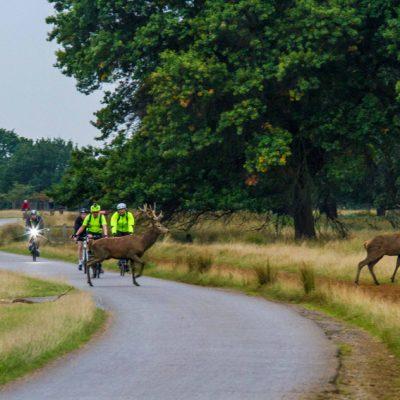 Cerf élaphe et cycliste