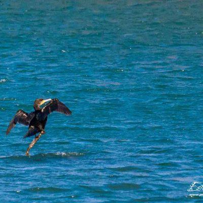 Grand cormoran_La Roche de Glun