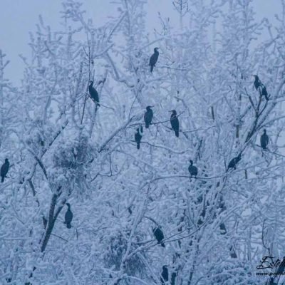 Grand cormoran_dortoir