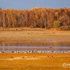 Grue cendrée_repos Lac du Der