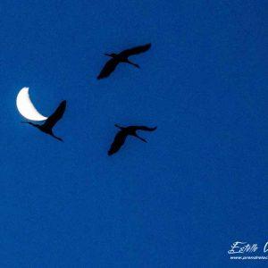 Grue cendrée_vol et lune