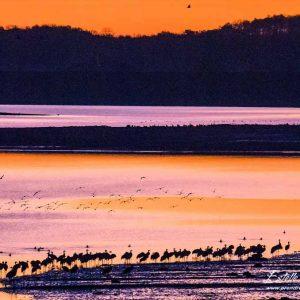 Grue cendrée_vol et paysage Lac du Der