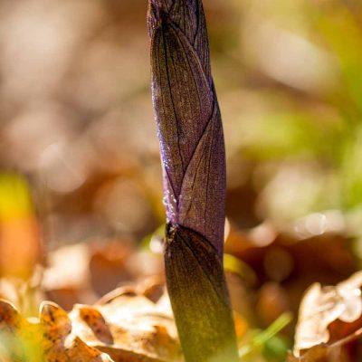 Limodore à feuilles avortées (Limodorum abortivum)