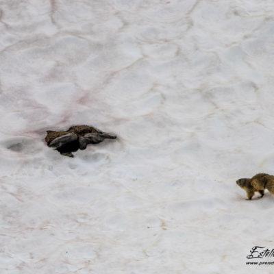 Marmotte des Alpes_névé