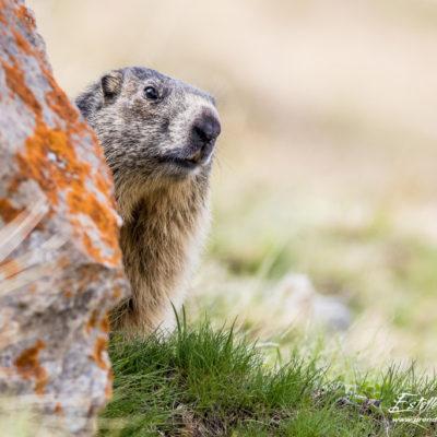 Marmotte des Alpes