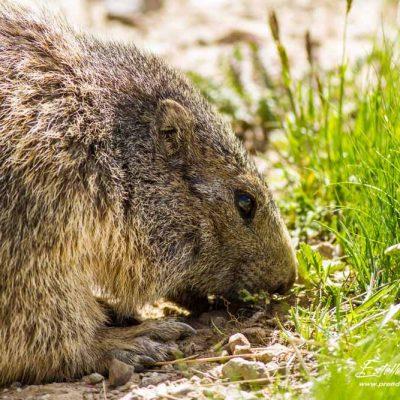 Marmotte mangeant des racines