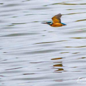Martin pêcheur_Etangs d'Outines