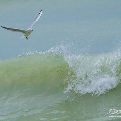 Mouette rieuse_Ault