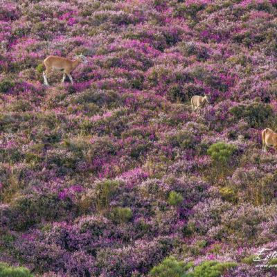 Mouflon méditerranéen 2014