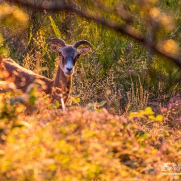 Mouflons du Haut-Languedoc : la Crête d'Aret