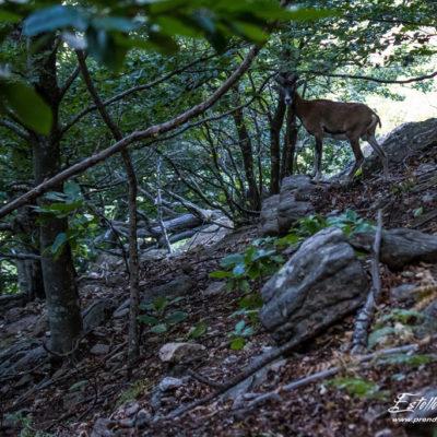 Mouflon méditerranéen 2018