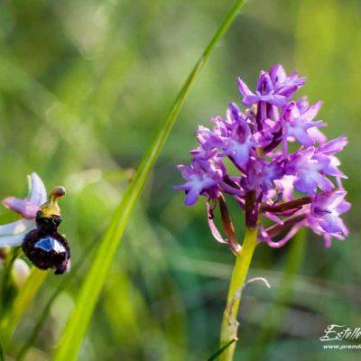 Ophrys de la Drôme et Orchis pyramidal