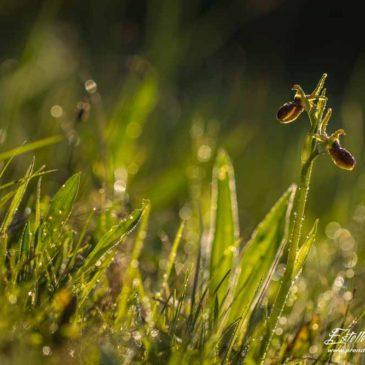 Orchidées précoces de Crussol