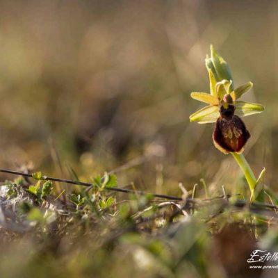 Ophrys de mars
