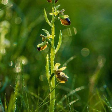 Crussol première fournée d'orchidées 2016: Ophrys petite araignée, Orchis de Provence et Ornithogale en ombrelle