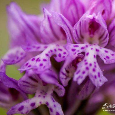 Orchis à 3 dents (Neotinea tridentata)