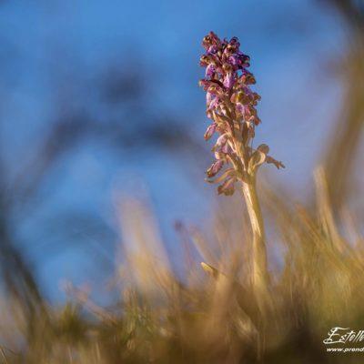 Orchis géant