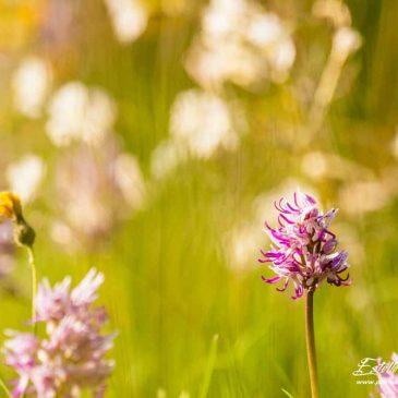 Crussol : le gros de la troupe fleurit en mai! Partie 3 : Ophrys de la Drôme et Orchis singe