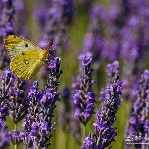 Papillon fluoré