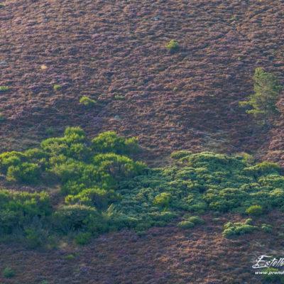 Paysage lande à bruyères