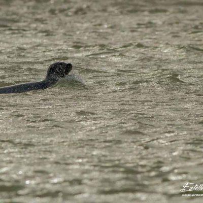 Phoque veau marin_Berck