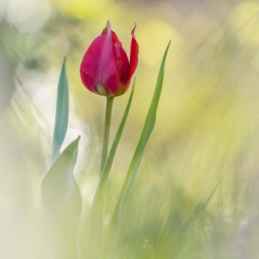 Tulipes précoces à Aouste sur Sye