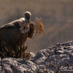Vautour fauve, récolte matériaux pour le nid