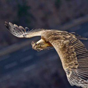 Vautour fauve, transport matériaux pour le nid