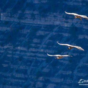 Vautour fauve, vol de parade nuptiale en tandem
