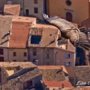 Vautour fauve, vol sur village