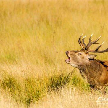 Le brame du cerf à Richmond Park (Londres)