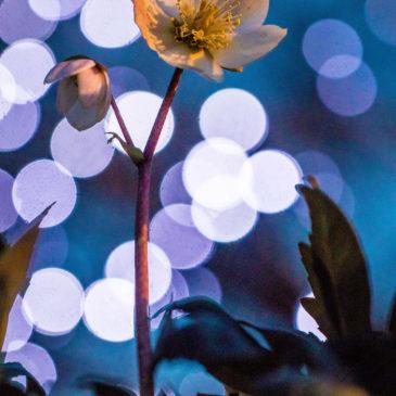 La macro au jardin : l'Hellébore noire