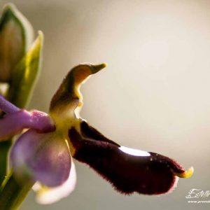 Ophrys de la Drôme (Ophrys drumana)