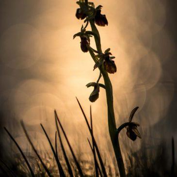 Orchis géants et Ophrys de mars