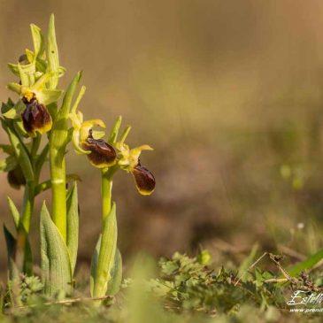 Ophrys de Mars à St Vallier