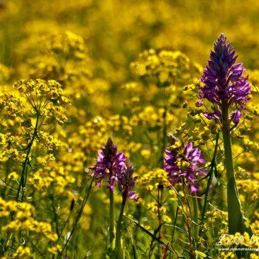 Crussol : le gros de la troupe fleurit en mai ! Partie 2 : Orchis à 3 dents, pourpre, pyramidal et militaire
